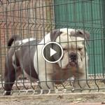 bulldog play