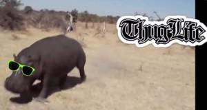Thug Hippo