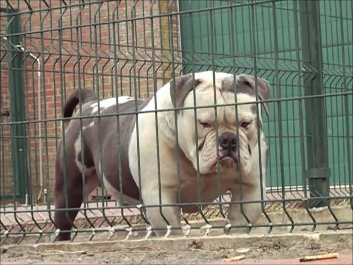 Meet The World S Biggest Bulldog The Thug Bible